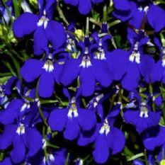 Lobelia Riviera Lilac Appx 3000 Seeds